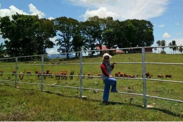 peternakan sapi-4a